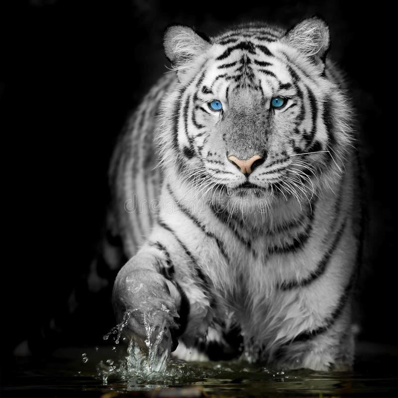 Black & White Tiger royalty free stock image