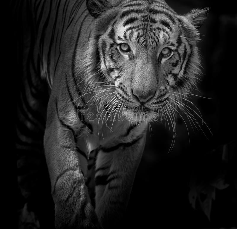 Black and white Tiger portrait in front of black background. Black and white Tiger portrait front of black background royalty free stock images