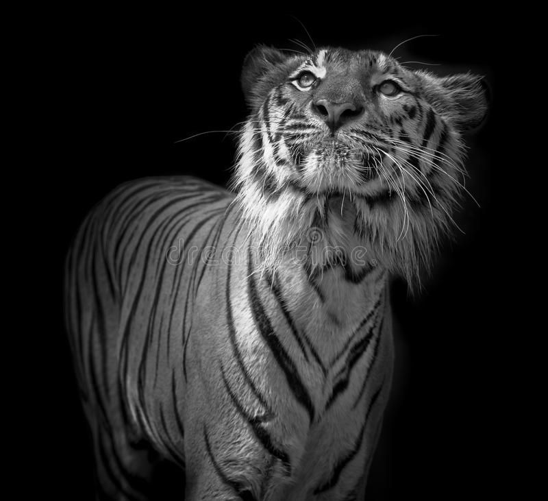 Black and white Tiger portrait in front of black background. Black and white Tiger portrait front of black background stock photos