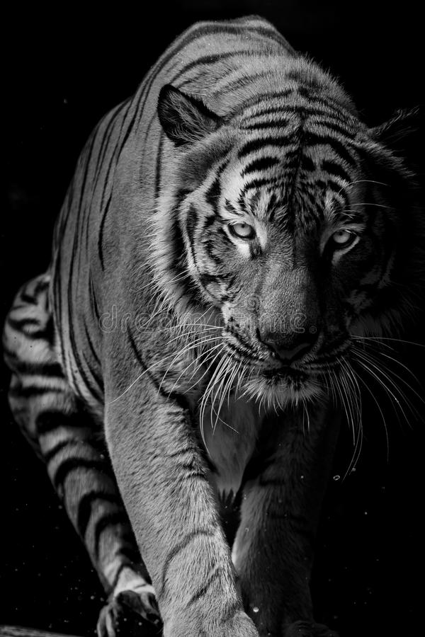 Black and white Tiger portrait in front of black background stock photos