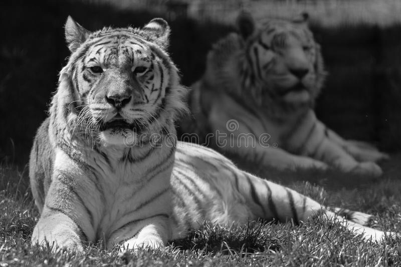 Black and white tigers at zoo royalty free stock images