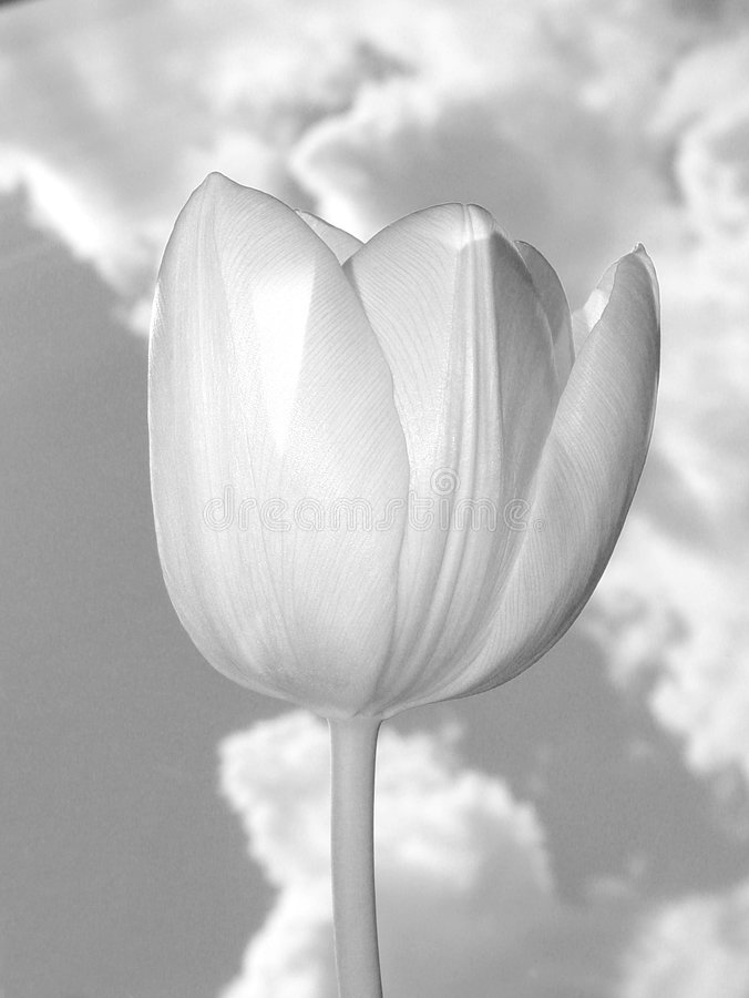 Black & White Tulip royalty free stock photo