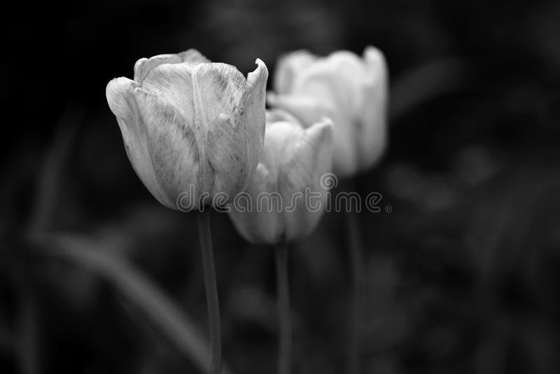 Black and White tulips photo stock image