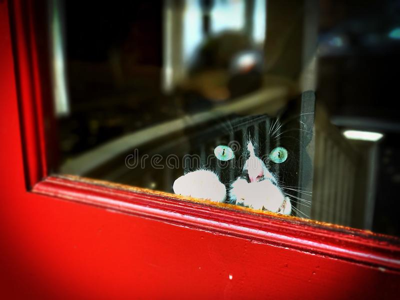 Green-Eyed Tuxedo Cat in the Window. A black and white tuxedo cat with bright green eyes peeks through a window with his paws on the sill of the red window royalty free stock photo