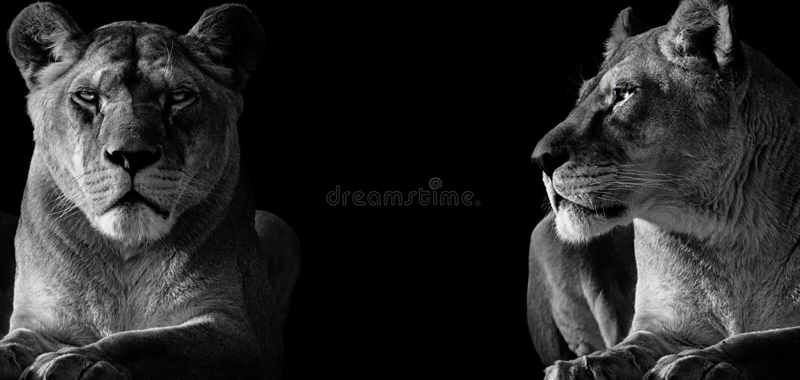 Black and White two lioness. Two lioness deserted. One looking ahead and the other looking at the other. Photo of the animal world stock photography