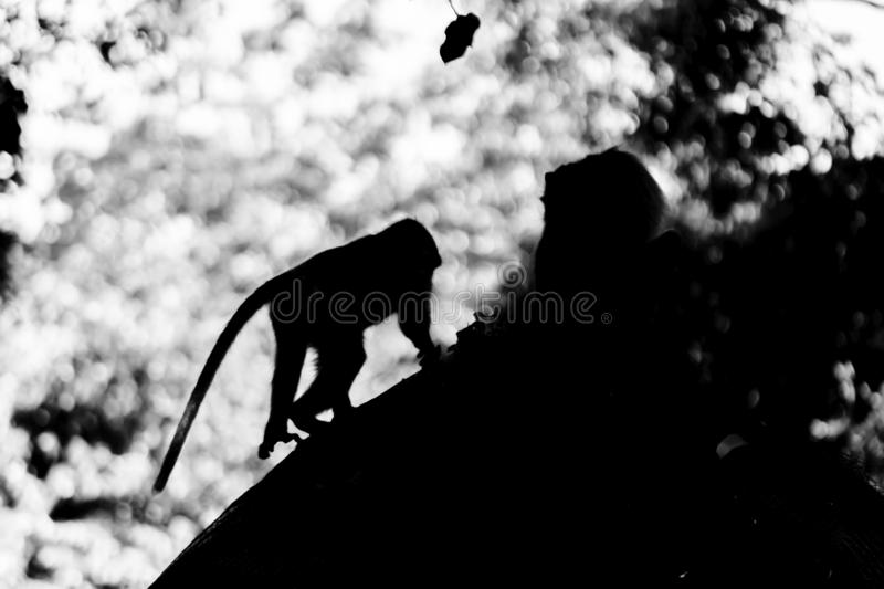 Black and white two monkeys silhouette sitting and walki in the. Middle of the jungles royalty free stock photo