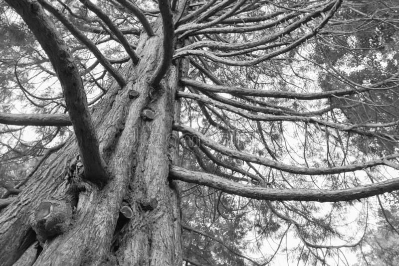Black and White under giant oak tree royalty free stock images