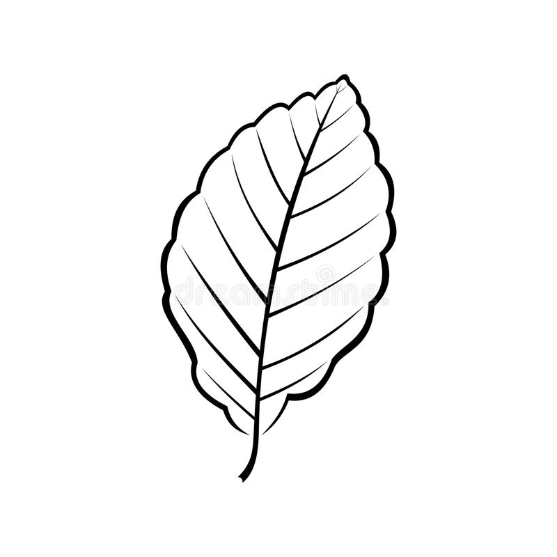 Black and white vector illustration of a beech leaf royalty free illustration