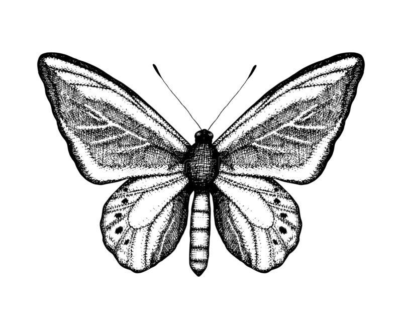 Black and white vector illustration of a butterfly. Hand drawn insect sketch. Detailed graphic drawing of wall brown in vintage vector illustration