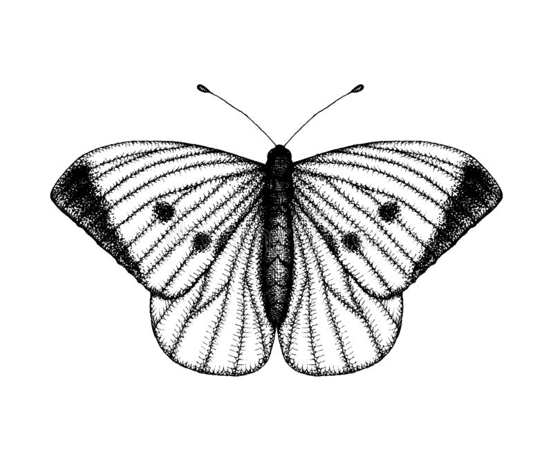Black and white vector illustration of a butterfly. Hand drawn insect sketch. Detailed graphic drawing of wall brown in vintage royalty free illustration