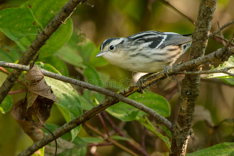 Black-and-white Warbler. Perched on a branch stock images