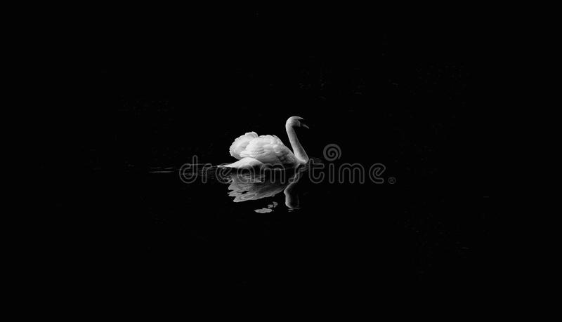 Black, Black And White, Water Bird, Monochrome Photography royalty free stock image