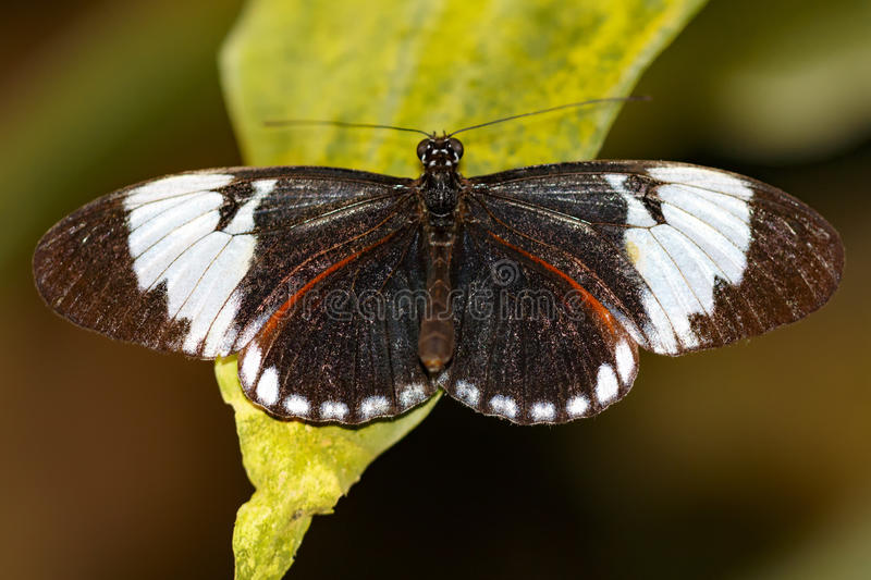 Black and white wing, Heliconius cydno butterfly stock image