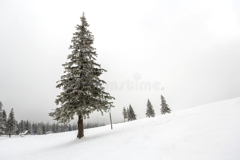 Black and white winter mountain New Year Christmas landscape. Is. Olated alone tall fir-tree covered with frost in deep clear snow on copy space background of royalty free stock photo