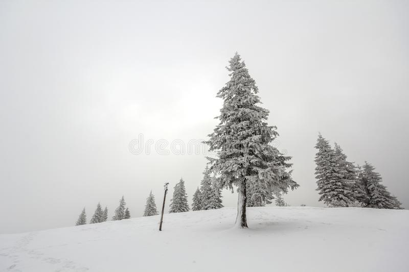 Black and white winter mountain New Year Christmas landscape. Is. Olated alone tall fir-tree covered with frost in deep clear snow on copy space background of stock image
