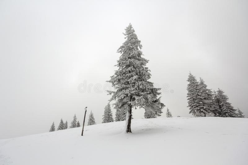Black and white winter mountain New Year Christmas landscape. Is. Olated alone tall fir-tree covered with frost in deep clear snow on copy space background of royalty free stock photography