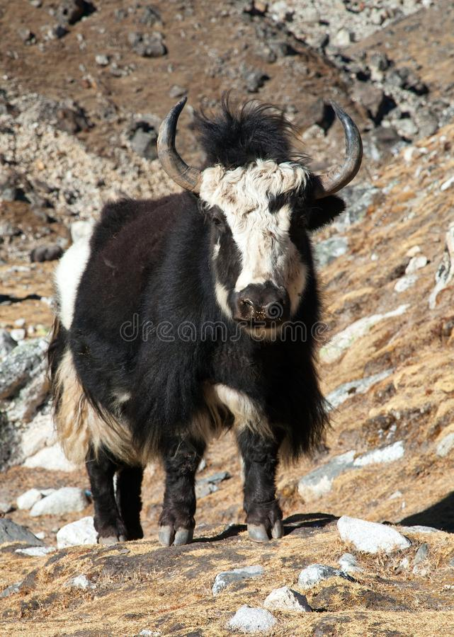Black and white yak on the way to Everest base camp royalty free stock photography
