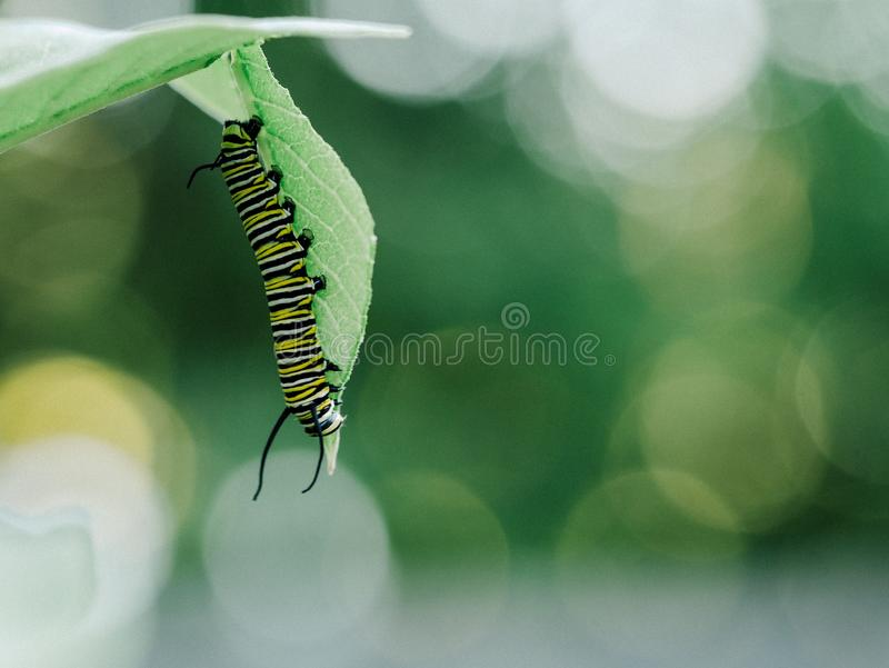 Black White And Yellow Caterpillar On Leaf Free Public Domain Cc0 Image