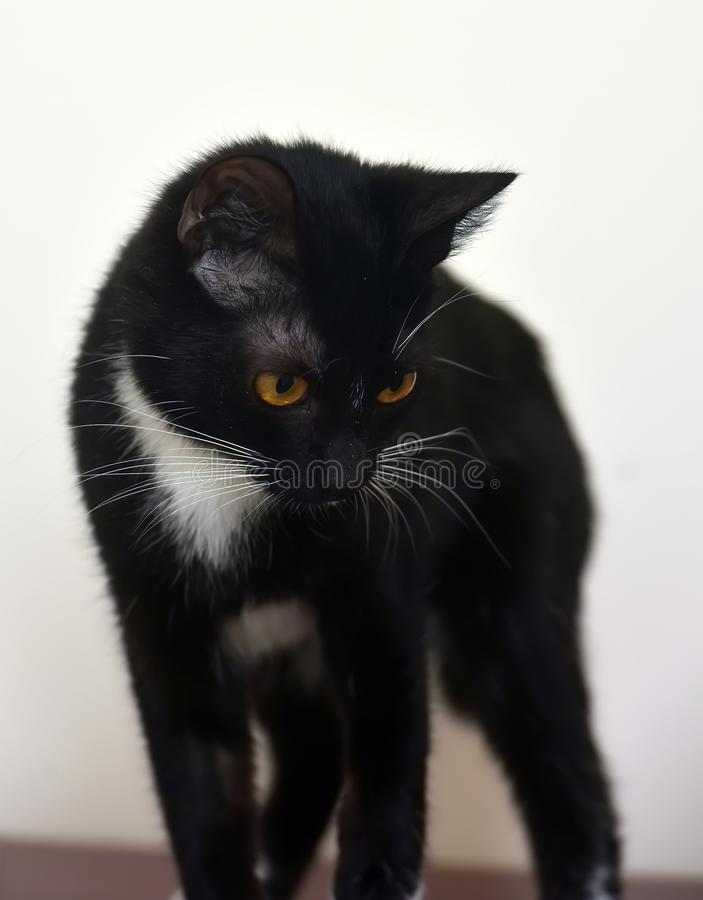 Black and white young shorthair cat royalty free stock image