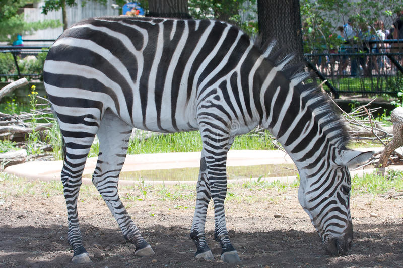 Download Black And White Zebra Royalty Free Stock Images - Image: 26838859