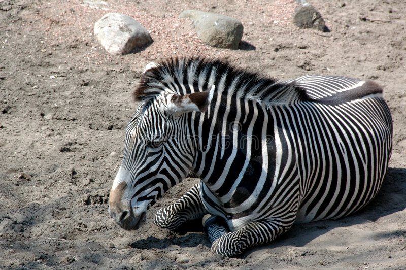 Black White Zebra. Zebra have black and white strips stock images