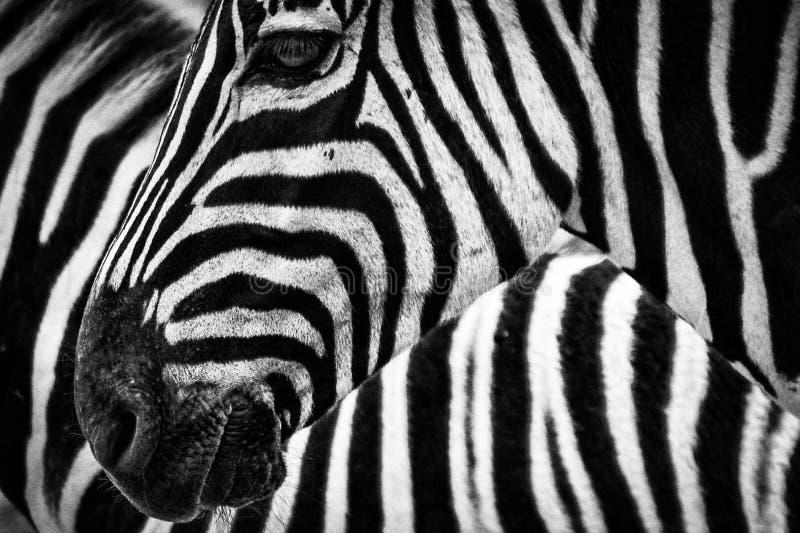 Black And White Zebra Free Public Domain Cc0 Image