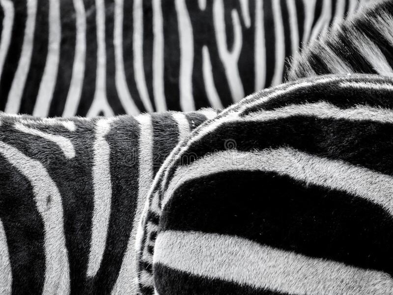 Black And White Zebra Patternt Free Public Domain Cc0 Image
