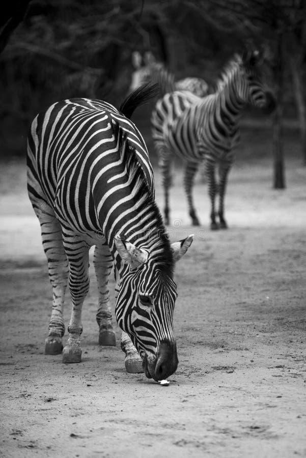 Black&White Zebras stock fotografie