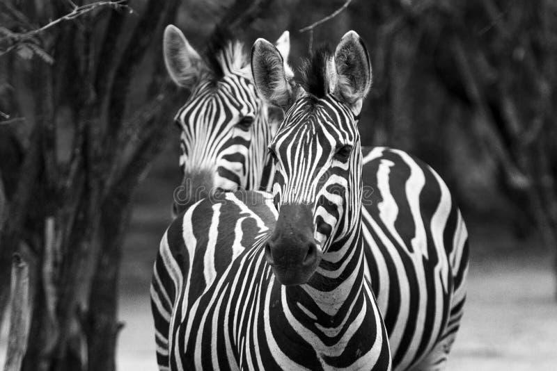 Black&Whitezebra royalty-vrije stock foto