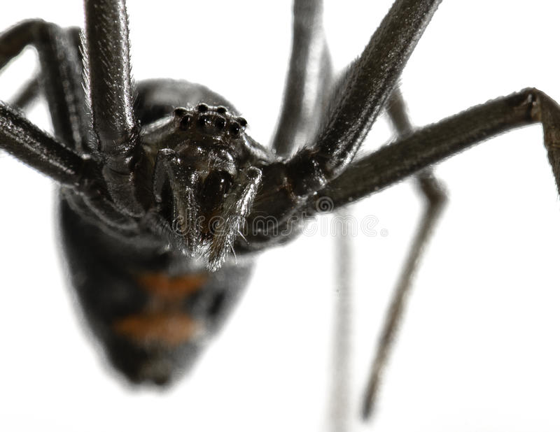Black Widow. A worms eye view of a black widow stuck to fly paper. I got her off the paper and let her go in a storm drain. Beautiful but creepy royalty free stock photography
