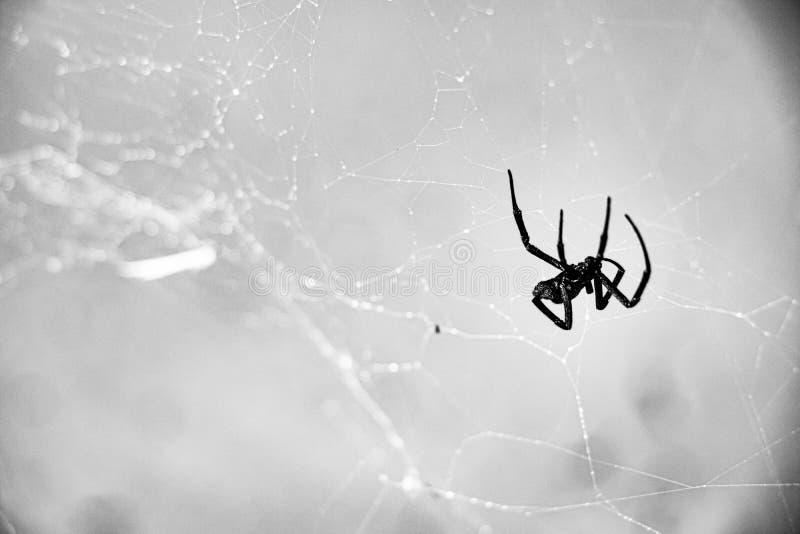 Black Widow Arachnid Spider im eigenen Netz gefangen stockbild