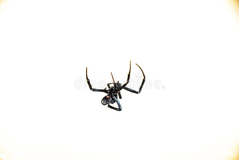 Black Widow Arachnid Spider im eigenen Netz gefangen stockfotos
