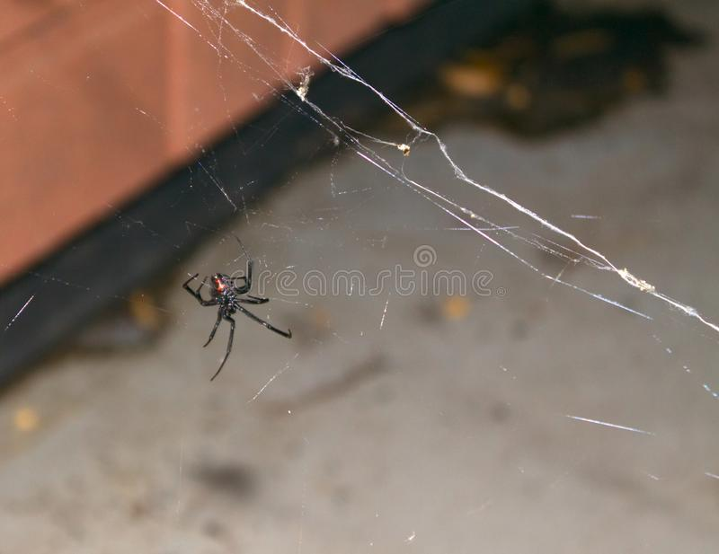 Black Widow Reveals a Red Hourglass and a Messy, Sticky Web royalty free stock images