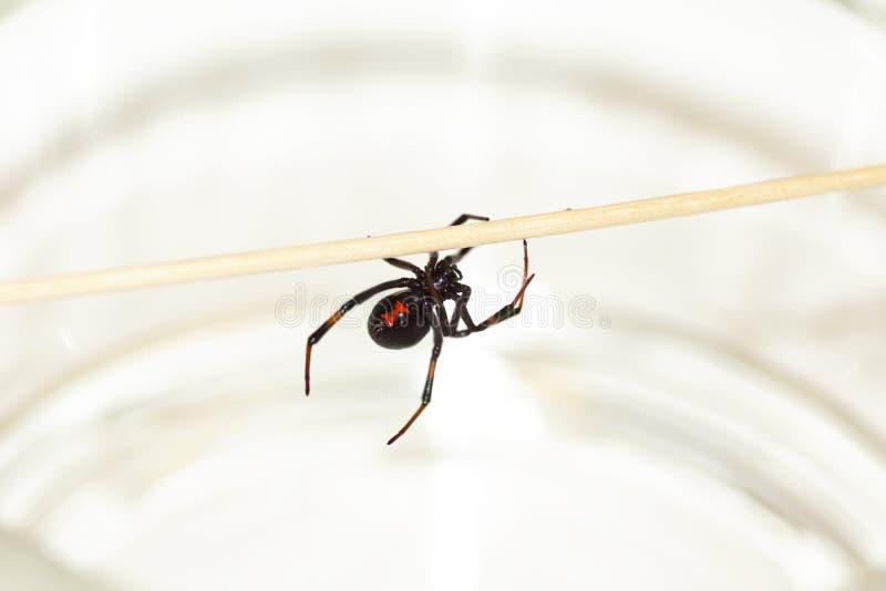 Black Widow Spider-2 Stock Photos