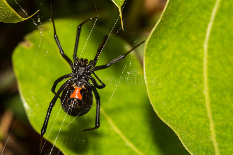 Black widow spider. A close up of a female black widow spider in Camel Lake Campground, Bristol, Florida royalty free stock photo