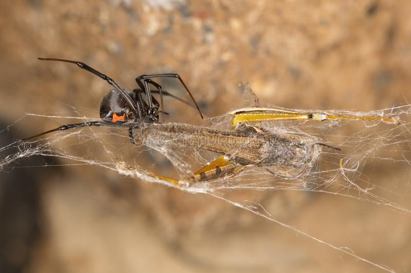 Black widow spider, harness their web-weaving skills to capture and consume their next meal. Black widow spiders are infamous for their potent venom and the stock photo