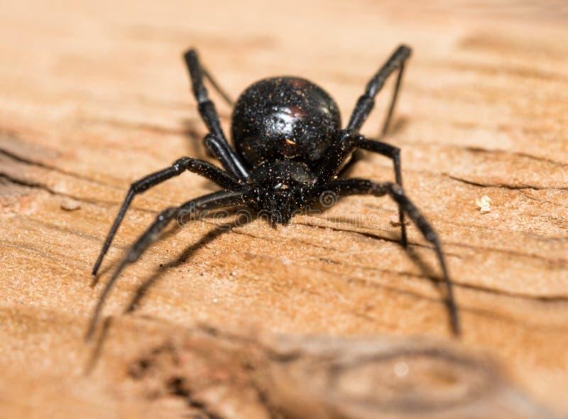 Black Widow spider outdoors stock photo