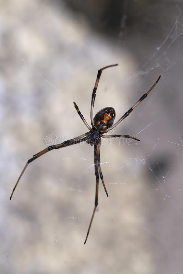Black Widow Spider in a Web. Black Widow Spider is in a web with a blurred background and the hourglass is visible stock photography