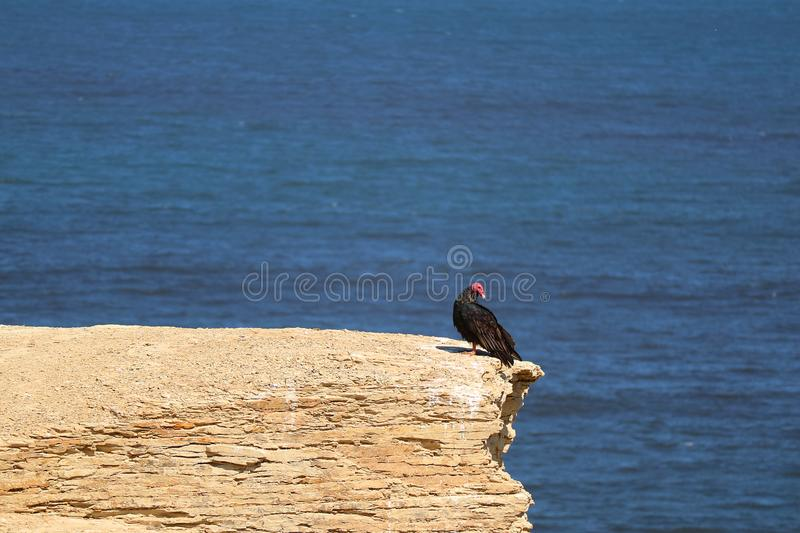 Black wild condor bird on the cliff at Paracas National Reserve in Ica region of Peru. With deep blue Pacific ocean in background royalty free stock photography