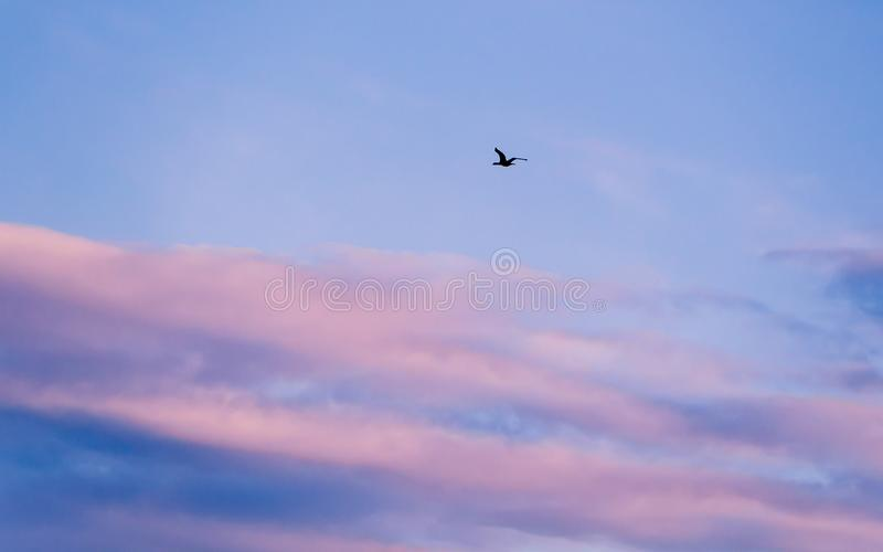 Black wild duck in flight - pink and blue clouds stock photo