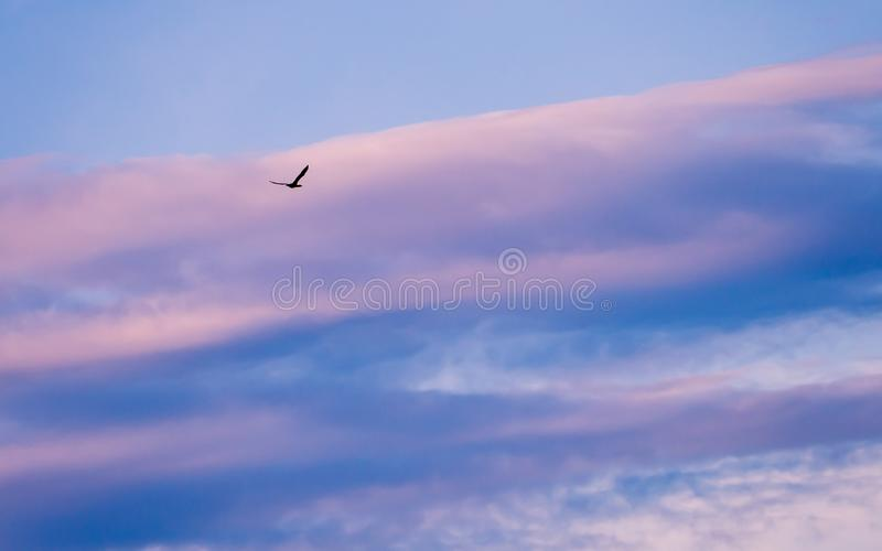 Black wild duck flying - pink and blue clouds in the background stock photography