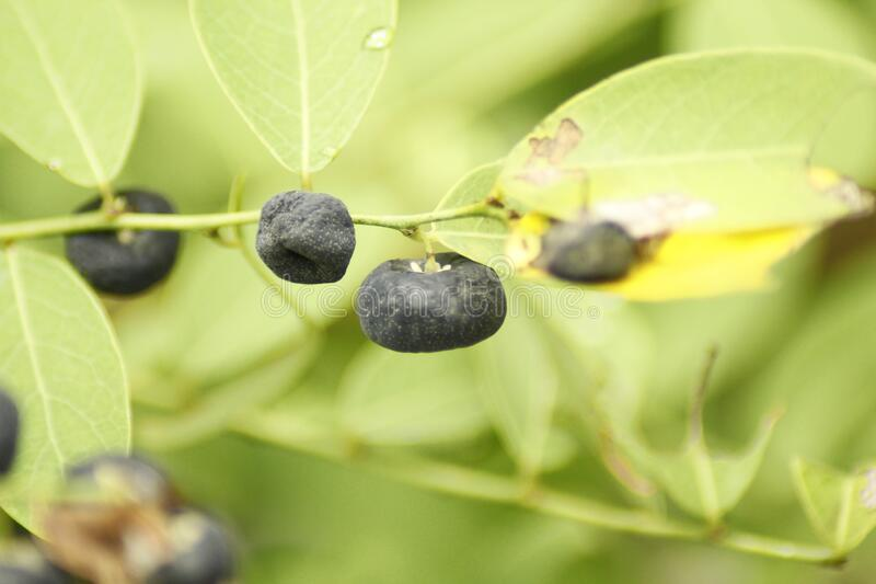 Black wild fruit royalty free stock photography