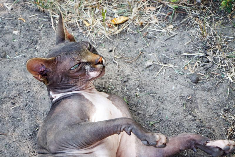 Black wild sphynx cat lies on the ground on a farm in the forest, selective focus. Black wild sphynx cat lies on the ground on farm in the forest, selective royalty free stock photo
