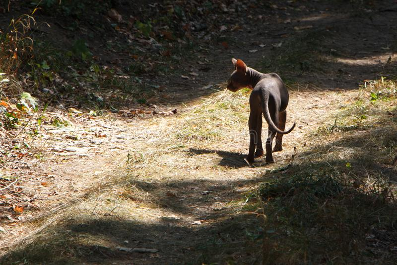 Black wild sphynx cat walks on a farm road in the forest, selective focus stock photography