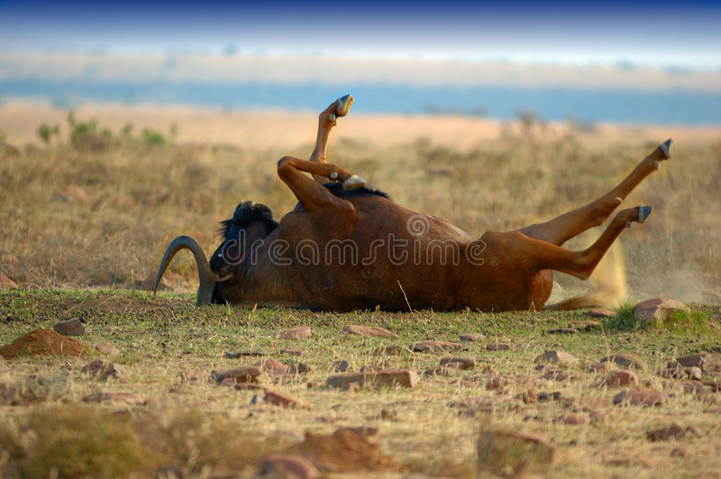 Download Black Wildebeest stock photo. Image of game, savanna, environment - 5048066