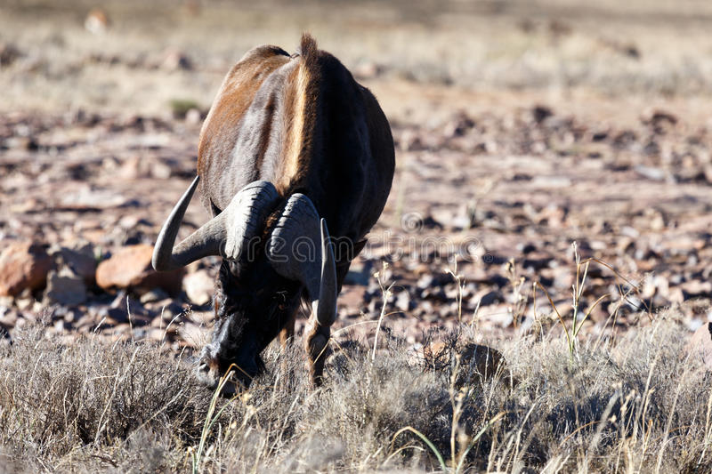 Black Wildebeest eating grass in Mountain Zebra. Black Wildebeest eating grass while looking at you with one eye in Mountain Zebra stock image