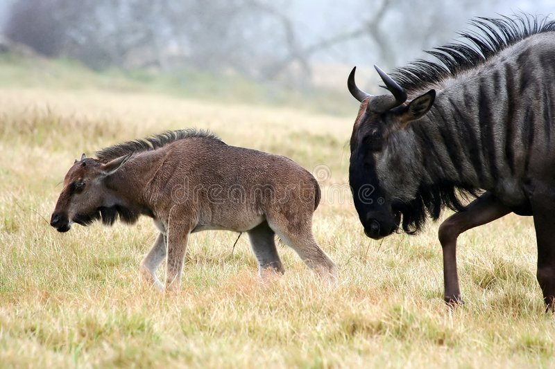Black Wildebeest and Young royalty free stock photo
