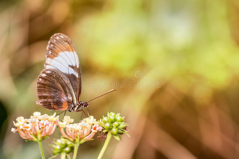 Heliconius melpomene Black wing butterfly royalty free stock photography