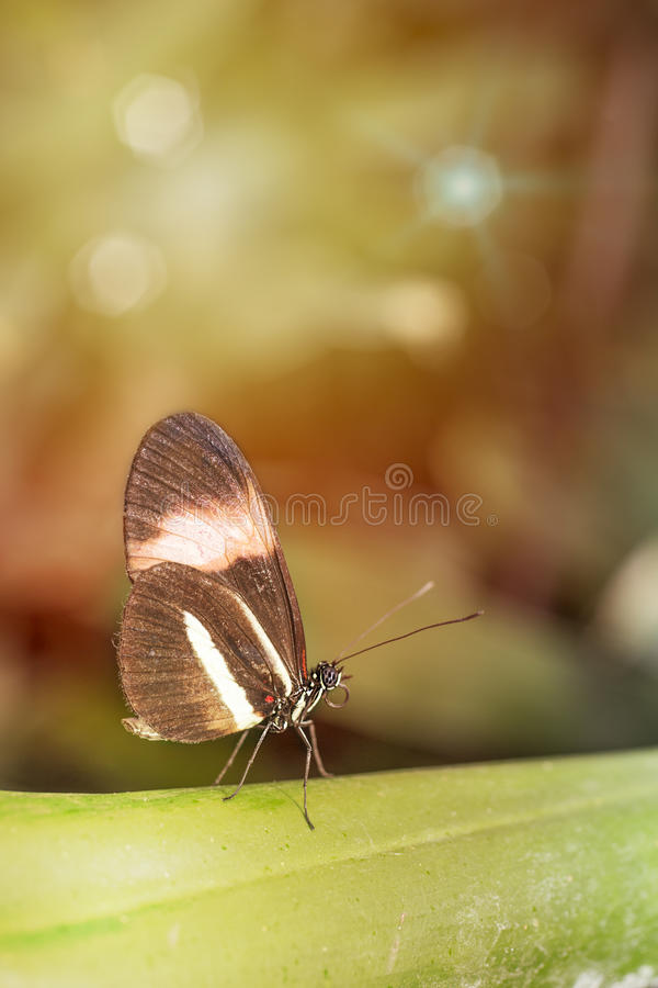 Heliconius melpomene Black wing butterfly royalty free stock images