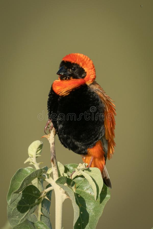 Black-winged red bishop on bush with catchlight royalty free stock images